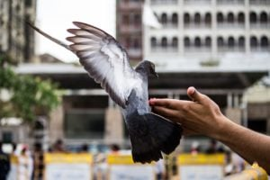 Pigeon Release